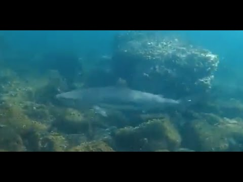 Encounter with reef Sharks in Oman