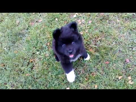 Finnish lapphund Z- litter 6 weeks old