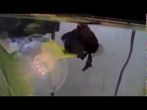 betta leaf hammock review   youtube  rh   youtube