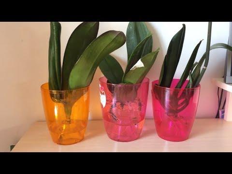 Как спасти орхидею без корней. Реанимация орхидеи в воде. Самый легкий способ реанимации.