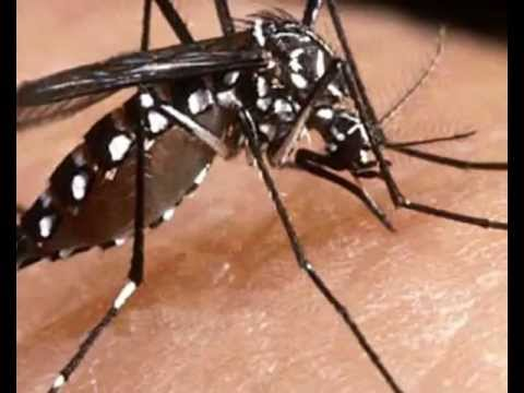 Documentary Film onDengue Mosquito