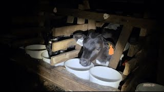 Operation Strauss Veal Feeds -