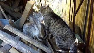 Молниеносная реакция котов в драке