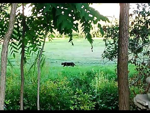 Thumbnail: Black cougar sighting near Ilderton Middlesex Centre Ontario