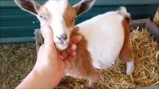 Litter-box Trained Baby Goats! Too Cute!