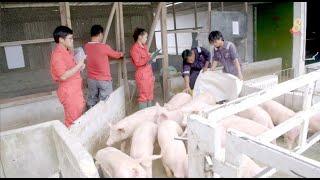 星期二特写   寻找新边际 : 第3集:砂拉越的养猪专区