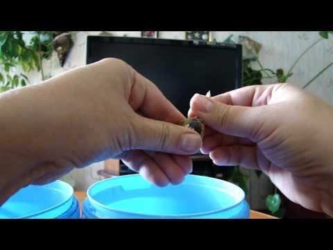 Заготовка семян бархатцев