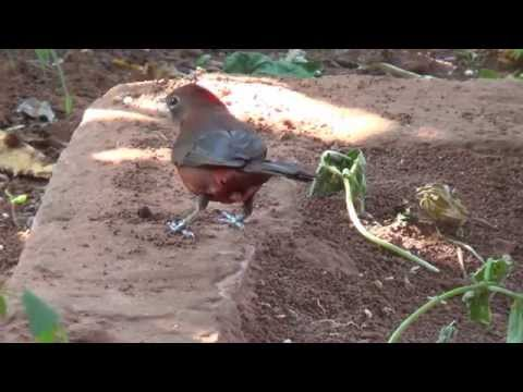 Red-crested Finch, Lanio cucullatus, The color of nature,