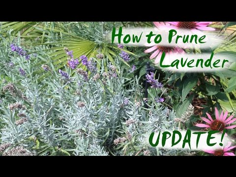 How To Prune Lavender Update Youtube