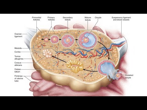 Histology Of The Ovary