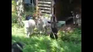 Lambs arrive