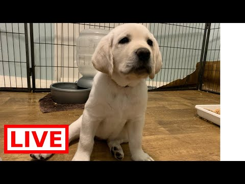 LIVE STREAM Puppy Cam!  Adorable Labrador Puppies at Play - So Cute!
