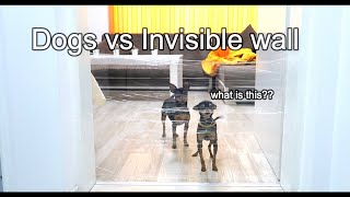 My Small Dogs FUNNY Reaction to the Invisible Challenge |Miniature Pinscher