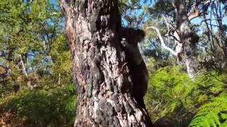 Koala Can