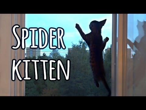 Spider kitten: Jonasek climbing up the safety net