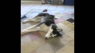 Husky throwing a temper tantrum
