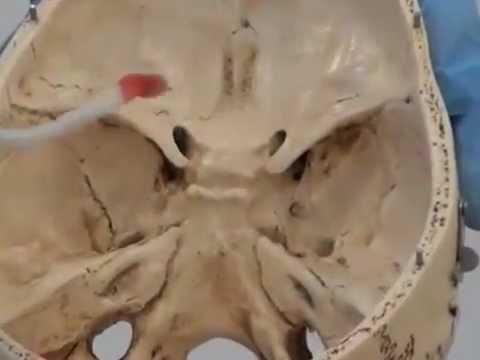 Bony Landmarks of the Skull
