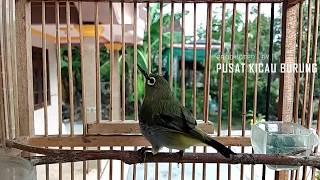 Suara Pleci Betina Untuk Pancingan Burung PLECI Jantan Macet Bunyi Biar Cepat NGALAS BUKPAR
