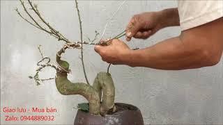 Cách uốn phôi cho cây sung quái (Lần 1)