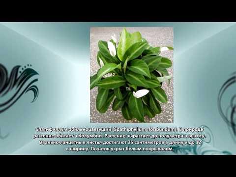 Комнатное растение кротон уход, размножение, фото