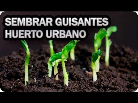 como sembrar guisantes en el huerto urbano o maceta    la huertina