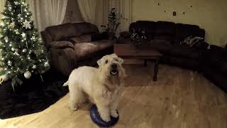 Soft coated wheaten terrier daily fitness