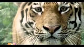 Невероятная история дружбы амурского тигра Амура и козла Тимура