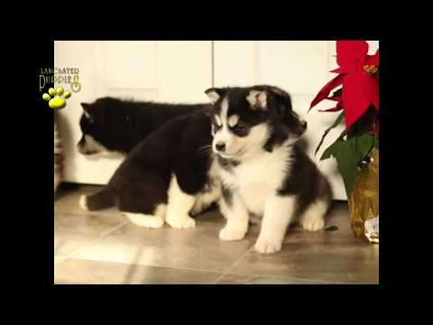 Alaskan Malamute Mix Puppies
