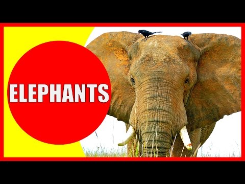 ELEPHANT Facts for Kids - Information About Elephants for Children, Elephant Sounds | Kiddopedia