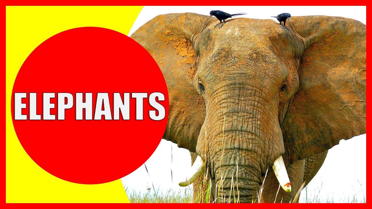 Indian Elephant Video