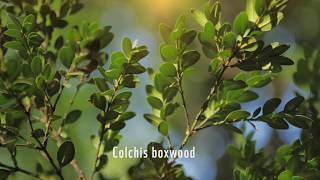 Let's save the Colchis boxwood