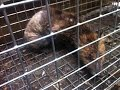 Humane Fox control in London by Environ pest control