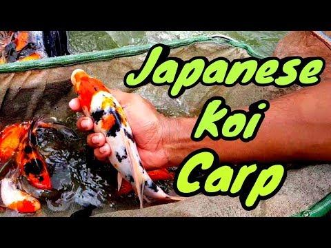 Local Japanese Koi Carp Fish😉😉