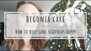 Cane Begonia Care