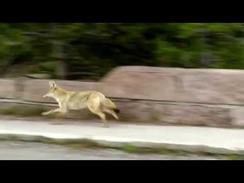 Yellowstone Coyote Attack September 2014