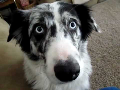 Dog Talk - Conversation With An Australian Shepard