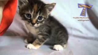 Gato manhoso faz carinha de choro