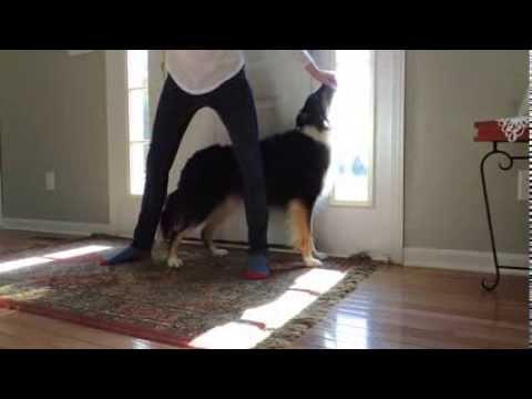 Leg Weaves (Stationary Backward, How To) - Dog Trick