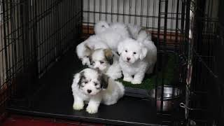 Coton de Tulear Puppies - Haven 3/10/20
