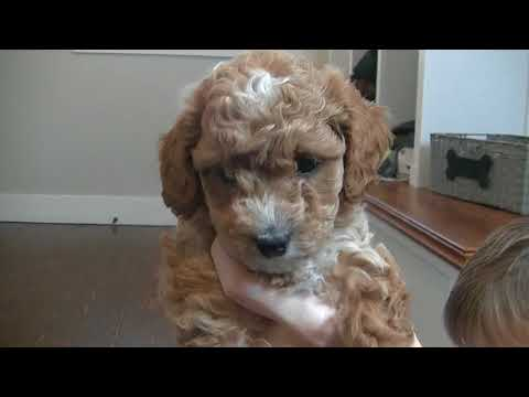 Cavapoo puppies all have names!