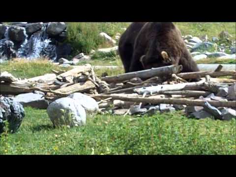 Grizzly Bears at Yellowstone...Close Encounter!