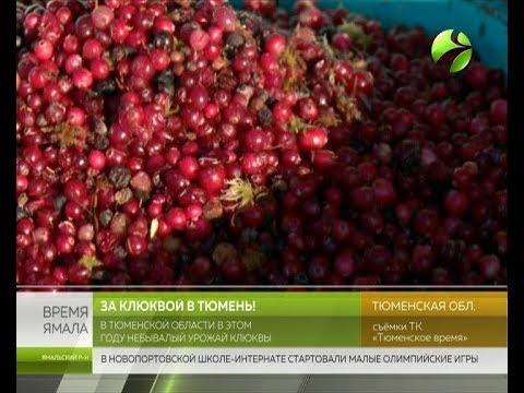 Деньги на болотах. В Тюменской области продолжается кампания по сбору дикоросов