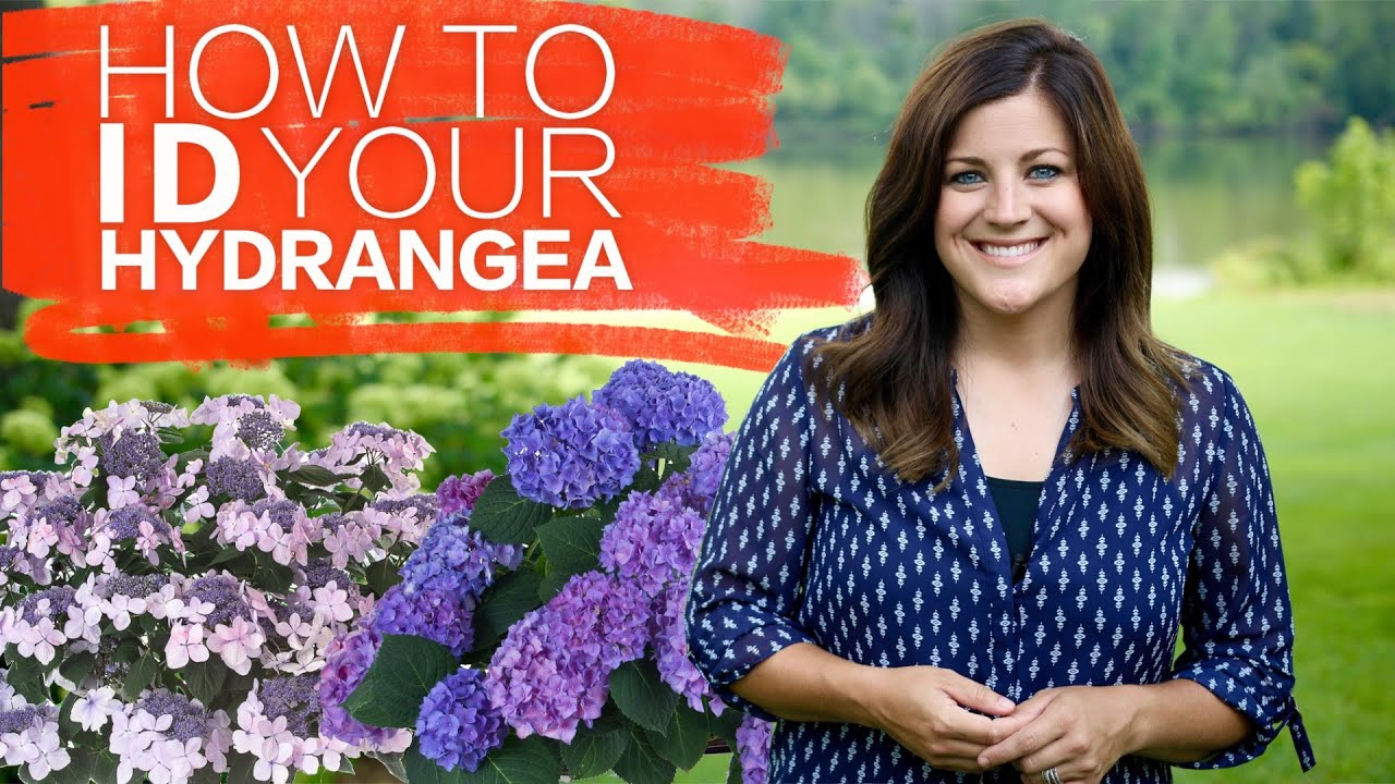 how to identify your hydrangea garden answer youtube