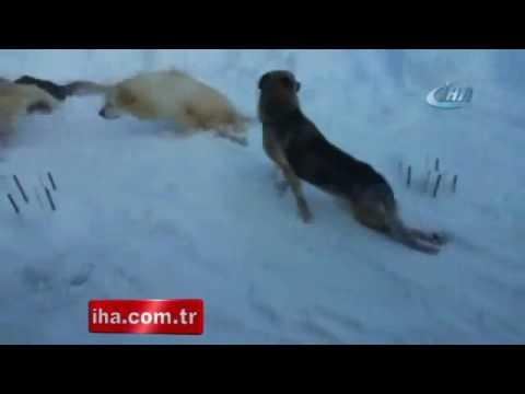 Felçli Köpeklerin Barınakta Karla Oynayarak Eğlenmeleri Yürekleri ısıttı