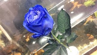 青いバラを買ってきました