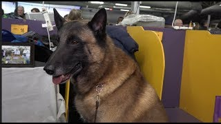 'Luciano' the Belgian Malinois at 2019 Westminster Kennel Club Dog Show