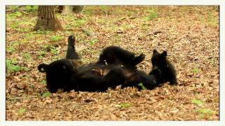 Mama black bear playing with her precious little cub!