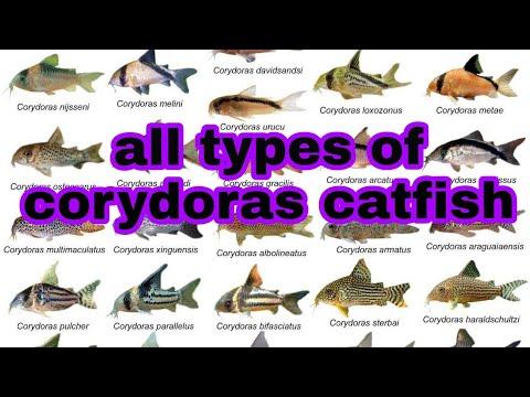 All Types Of Corydoras Catfish And Photo And Names