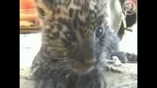 Спасение гепарденка в Индии