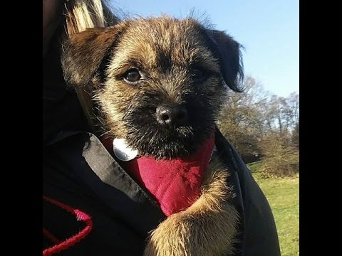 Diggy Dog the Border Terrier puppy - My first week in my new home! (9 weeks old)